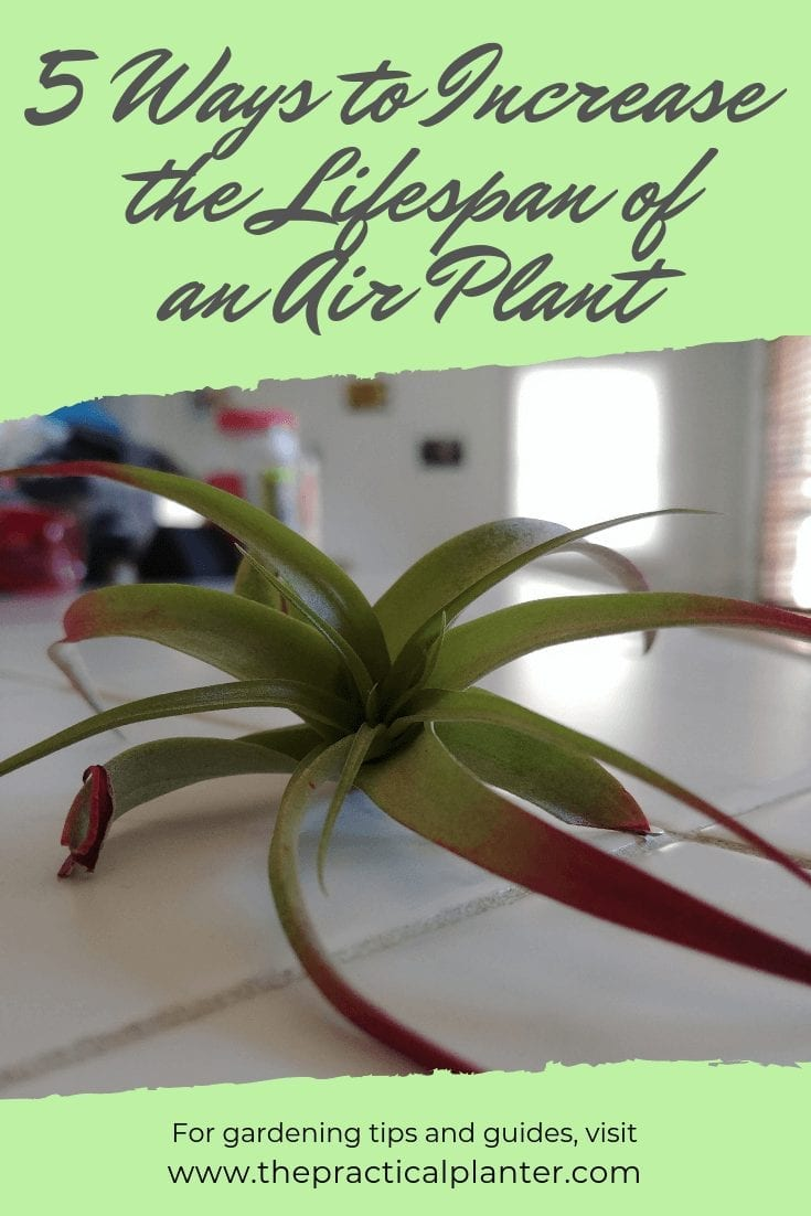 5 Effective Ways to Increase the Lifespan of an Air Plant