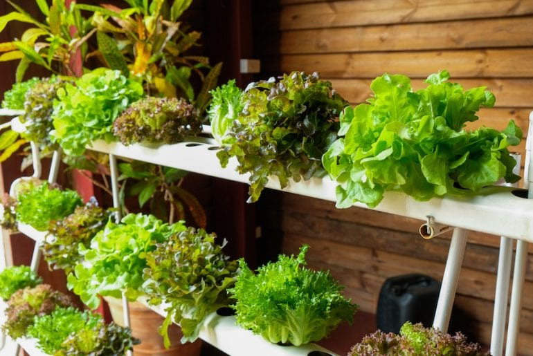 Hydroponic vegetables growing