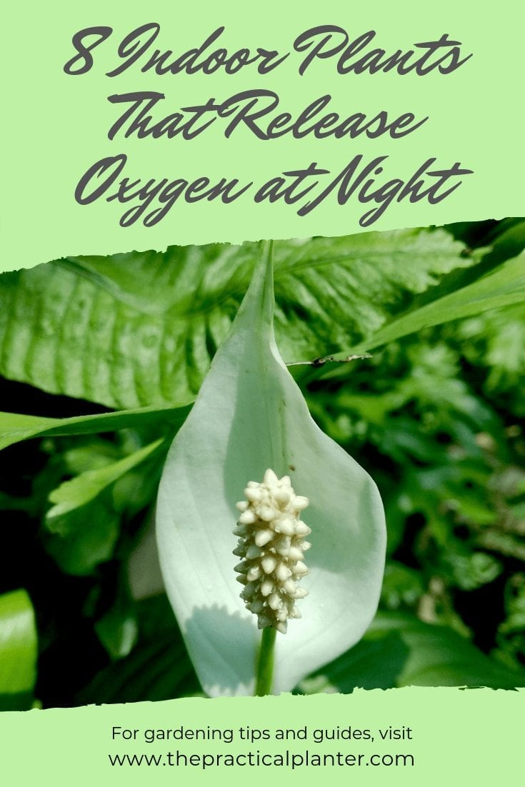 8 Incredible Indoor Plants That Release Oxygen at Night