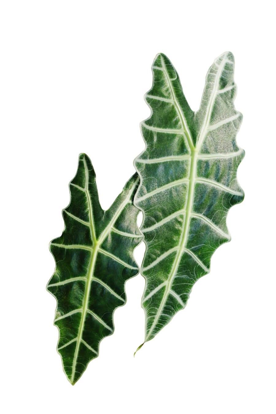 Amazonica Polly Plant