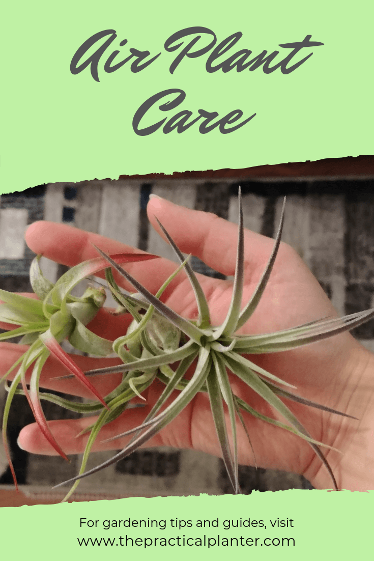 How to Care for an Air Plant (And its Flowers and Pups)
