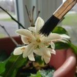 Pollinating Indoor Plants