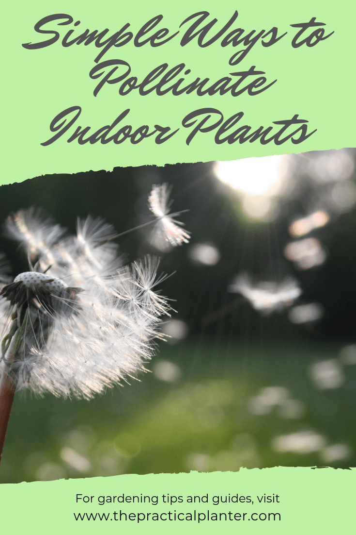 Simple Ways to Pollinate Indoor Plants