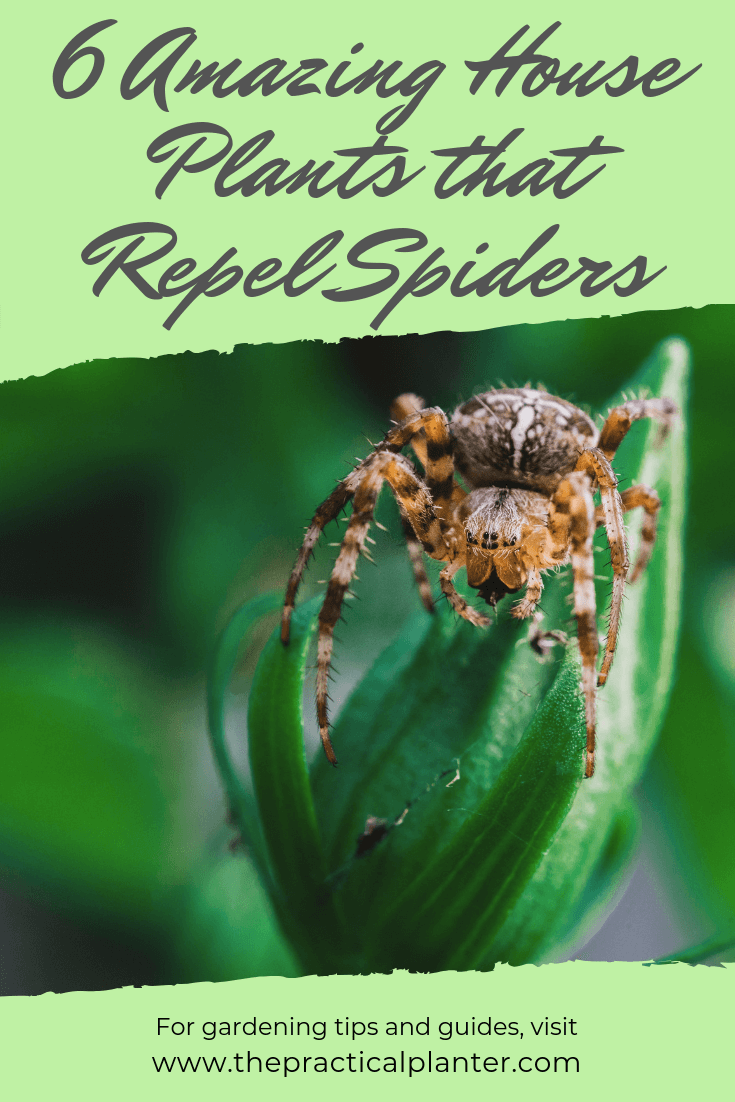 6 Amazing House Plants that Repel Spiders