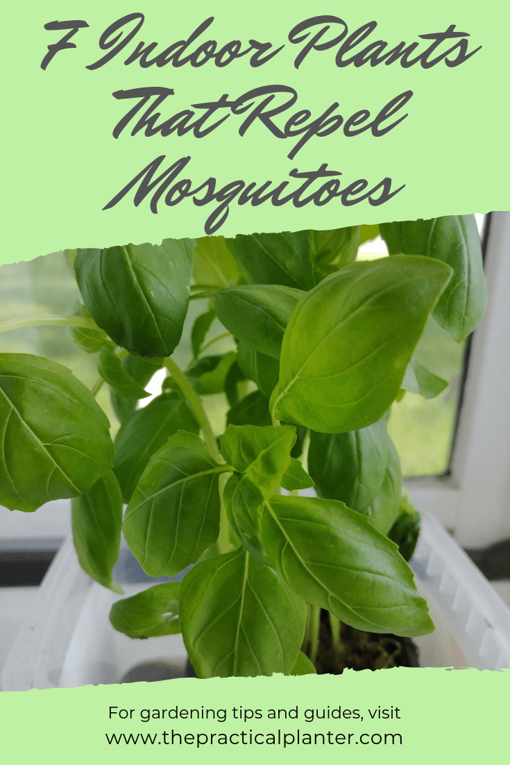 7 Incredible Indoor Plants That Repel Mosquitoes The Practical