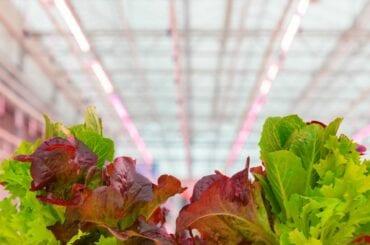 Lettuce Growing Under LED Lights
