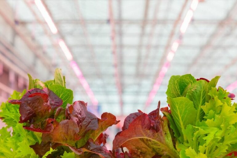 Lettuce Growing Under LED Lights