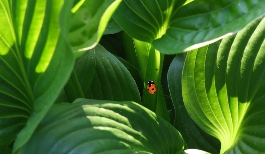 Lady Bug on Indoor Plant