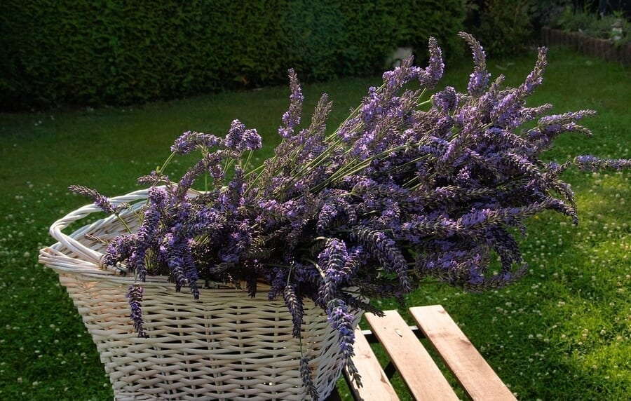 Lavender as Mosquito Repellent
