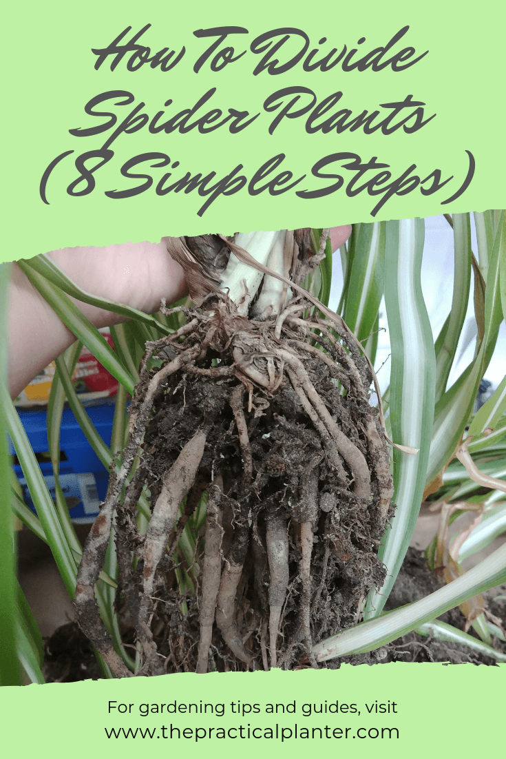 How To Divide Spider Plants (In 8 Simple Steps)