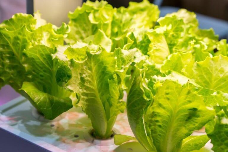 Lettuce Growing Under Artificial Lights