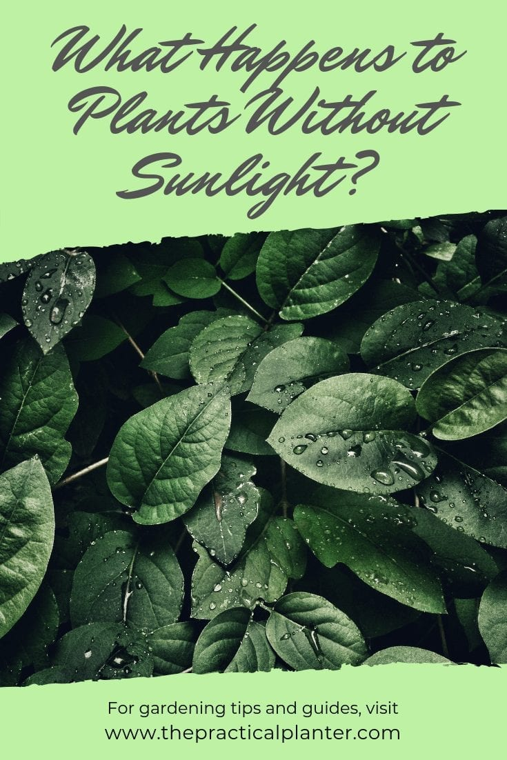 What Happens to Plants Without Sunlight (What to Watch For)