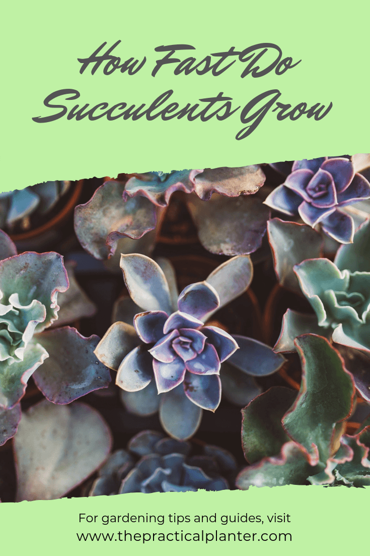 How Fast Do Succulents Grow (And How to Grow Them Faster)