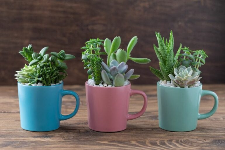 Succulents in Coffee Mugs