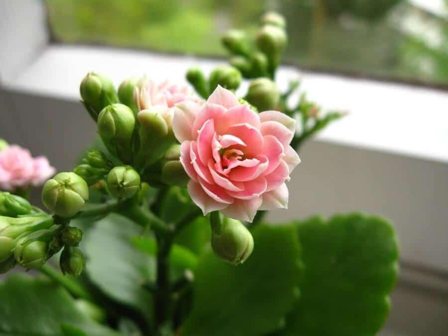 Kalanchoe Succulent