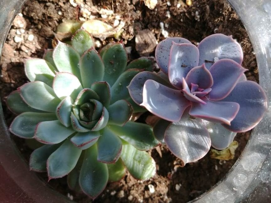 How Fast Do Succulents Grow And How To Grow Them Faster The