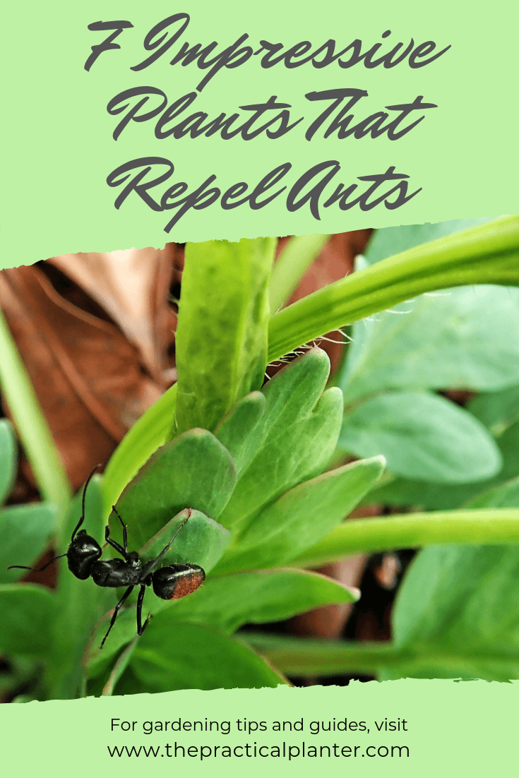 7 Impressive Plants That Repel Ants (And What Attracts Them)