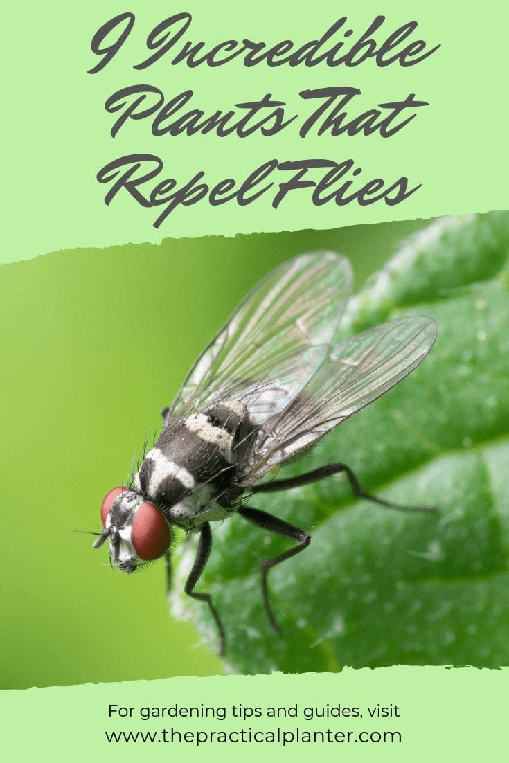 9 Incredible Plants That Repel Flies No Need For Chemicals The Practical Planter