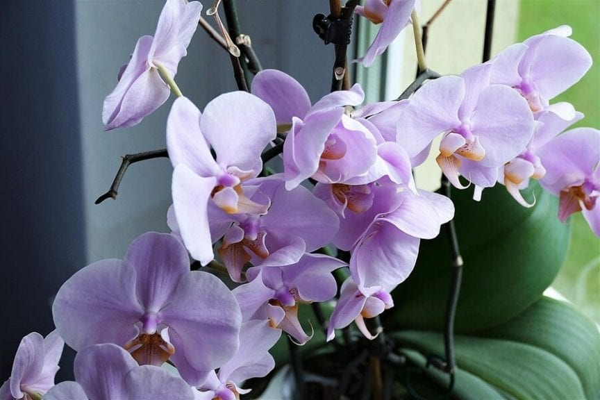 How Often Do Orchids Bloom And How To Make It Happen The