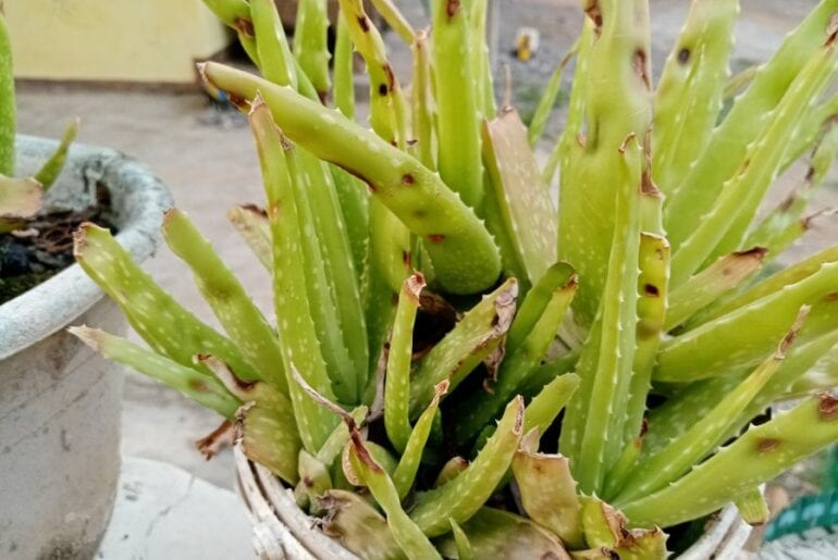 Aloe Vera with Brown Spots
