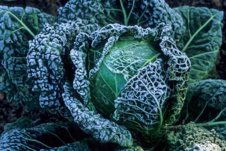 Snow on Cabbage