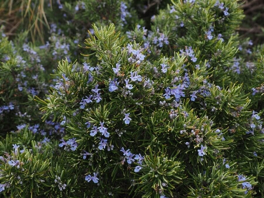 Rosemary as Mosquito Repellent
