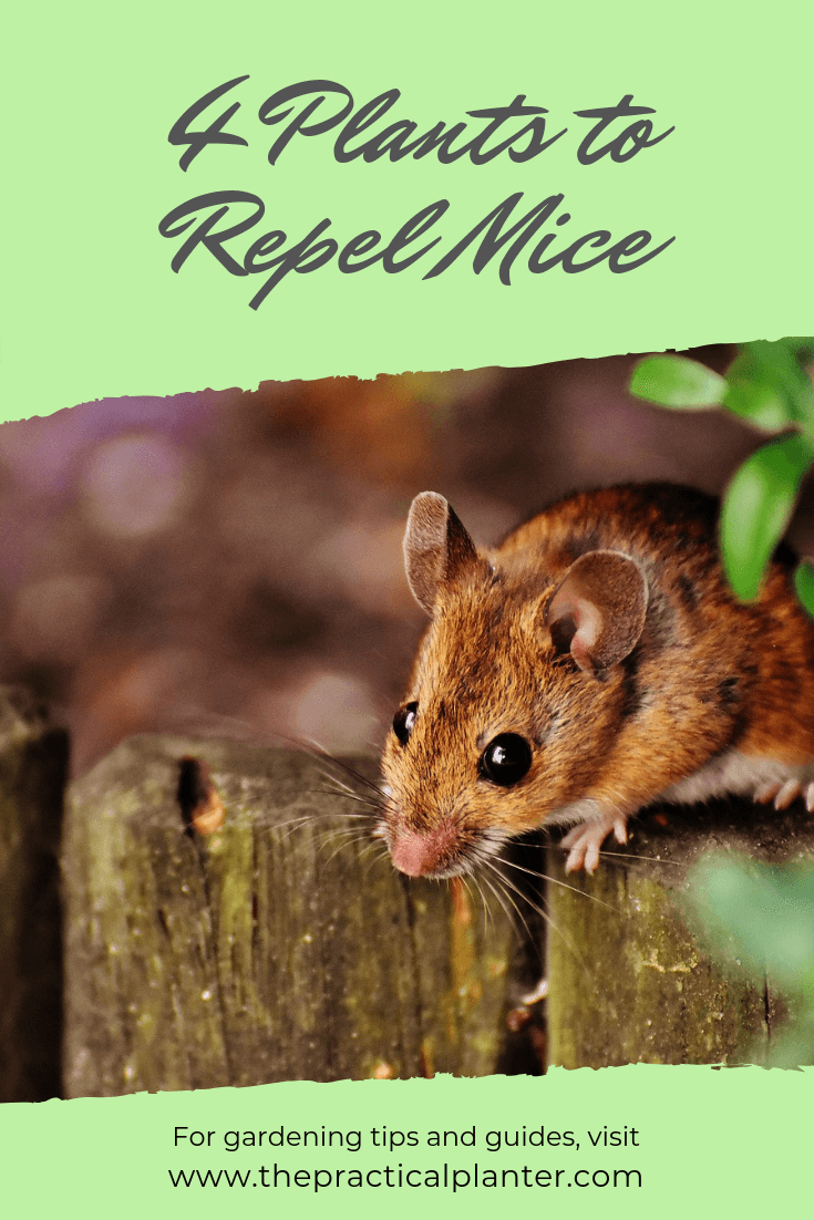 4 Plants to Keep Mice From Invading Your Yard and Home