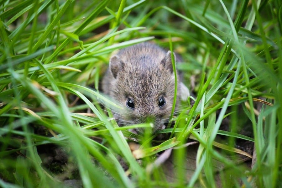 Mouse in Yard