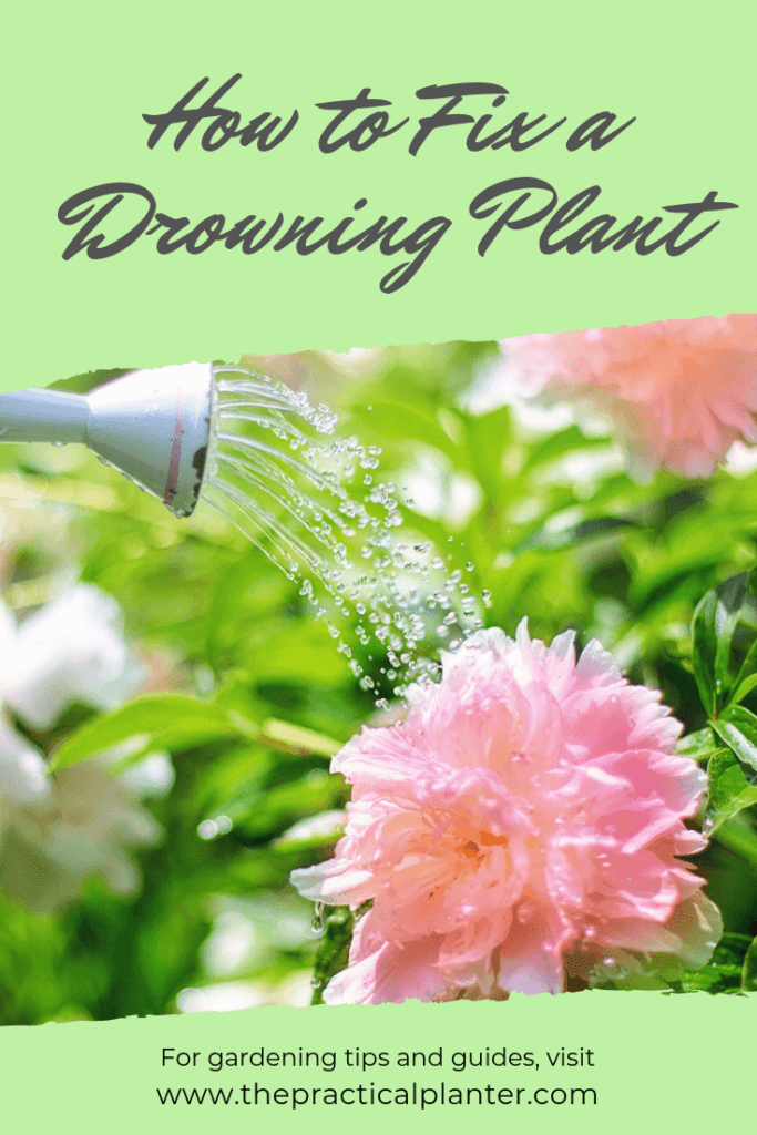 Are You Over Watering Indoor Plants? How to Fix a Drowning Plant