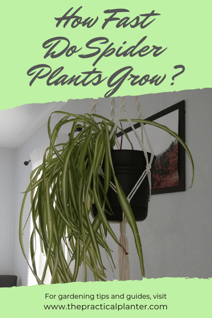 How Fast Do Spider Plants Grow? (Plus Tips to Impact Growth Rate)