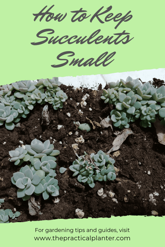 How to Keep Your Succulents Small (Tips for Smaller Plants)