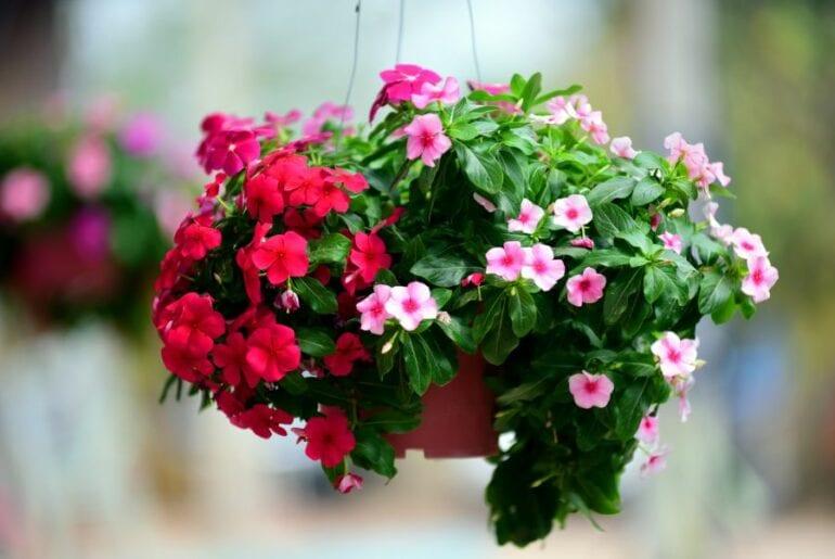 Hanging Basket of Petunias