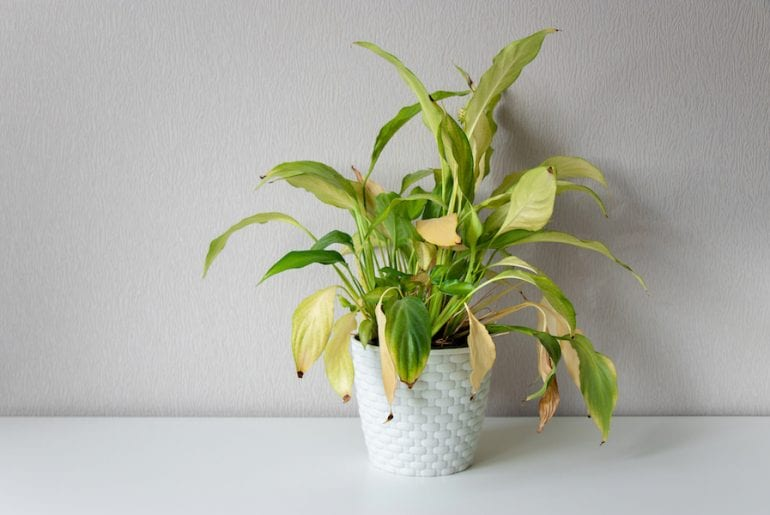 Wilting and drooping house plant