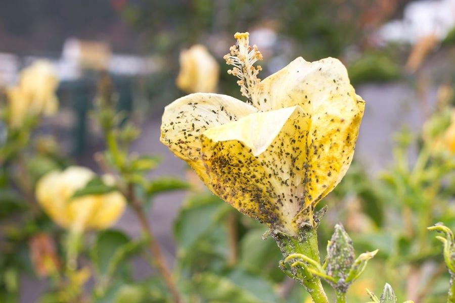 Mealybug on flower