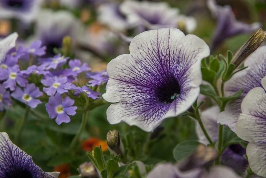 How Long Do Petunias Last The Flowers And The Plants Themselves