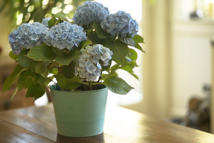 Blue Hydrangea in a pot on a table indoors