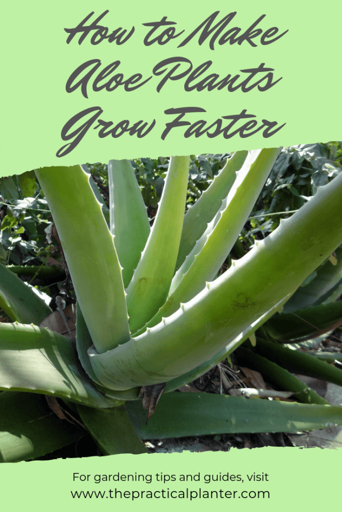 How Fast Do Aloe Plants Grow And How To Make Them Grow Faster The Practical Planter