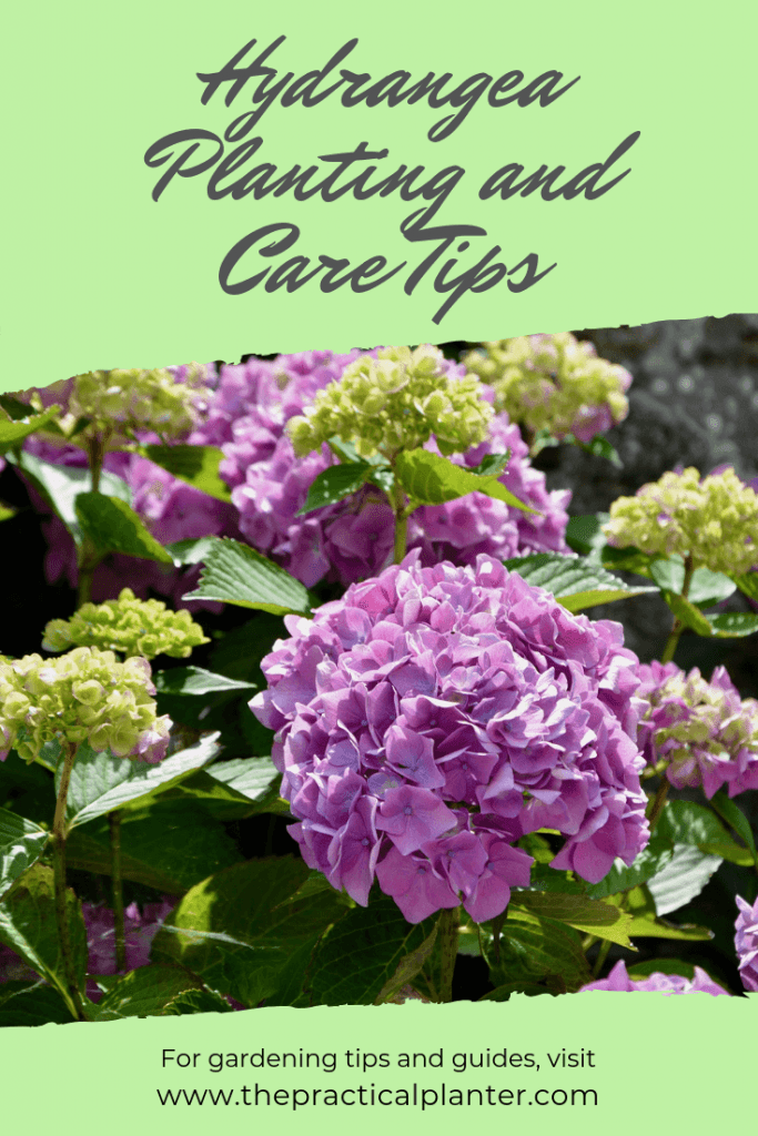 Hydrangea Care and Maintenance (Tips for Growing Indoor and Outdoor)