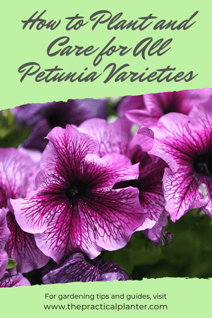 Petunia Care How to Plant and Care for All Petunia Varieties
