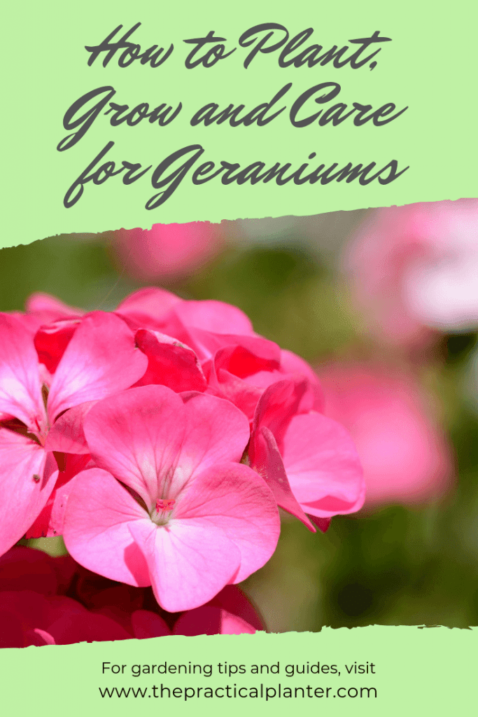 Geranium Care Learn How to Plant, Grow and Care for Geraniums
