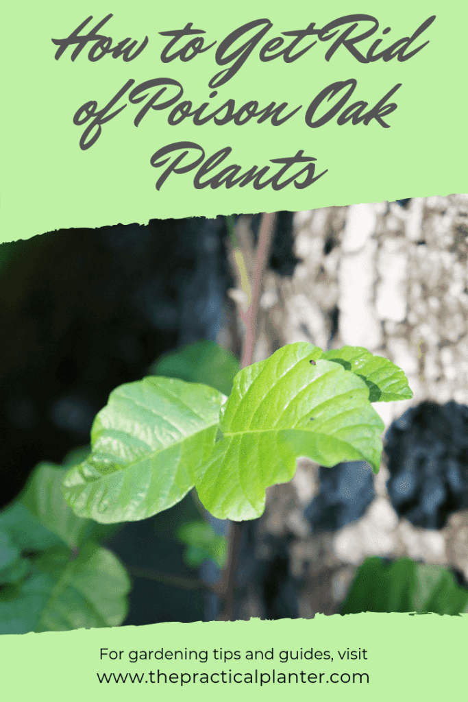 How to Get Rid of Poison Oak Plants (And What to Do If Touched)