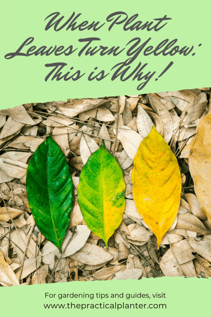 When Plant Leaves Turn Yellow - This is Why!