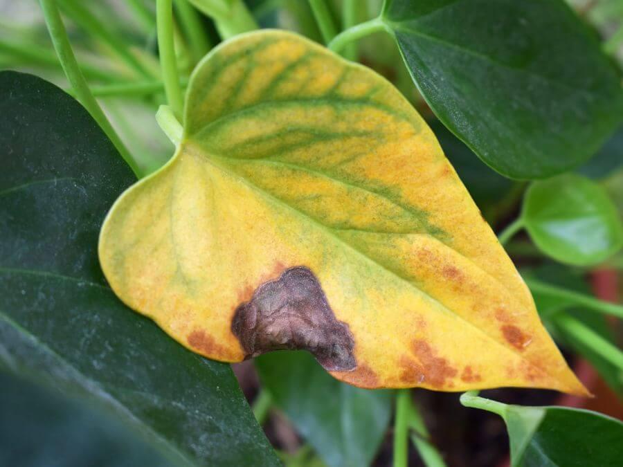 Yellowing Plant