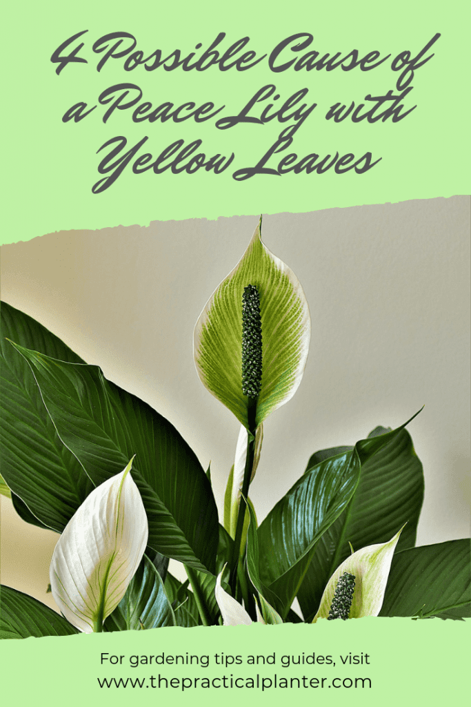 4 Possible Cause of a Peace Lily with Yellow Leaves