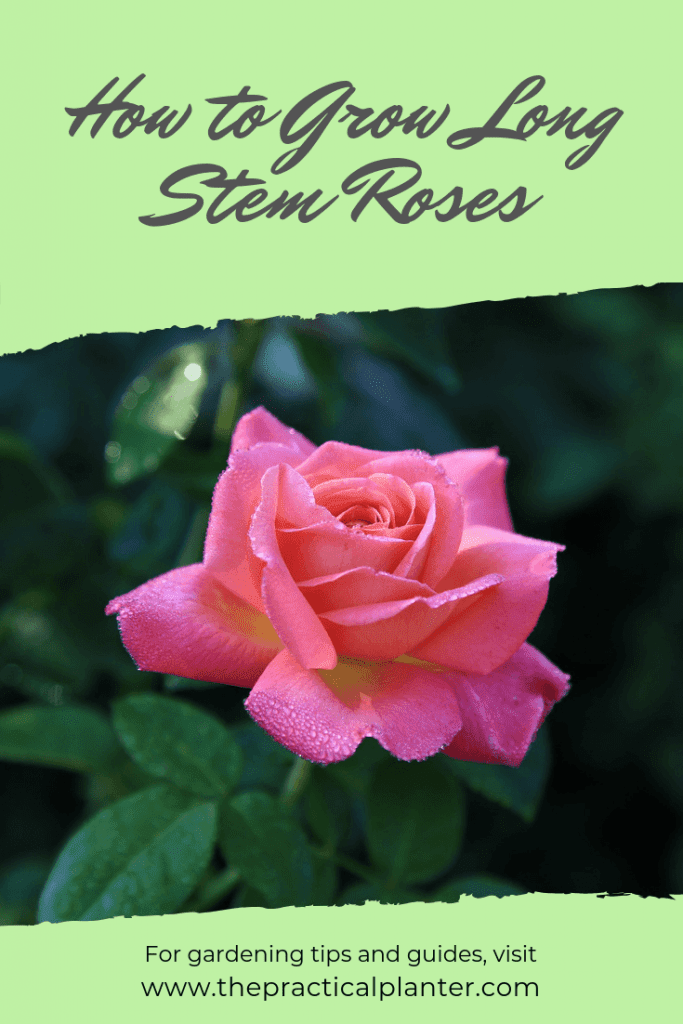 How to Grow Long Stem Roses