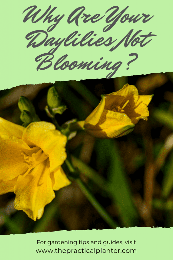 Why Are Your Daylilies Not Blooming?