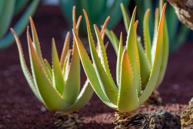 Aloe vera with brown tips