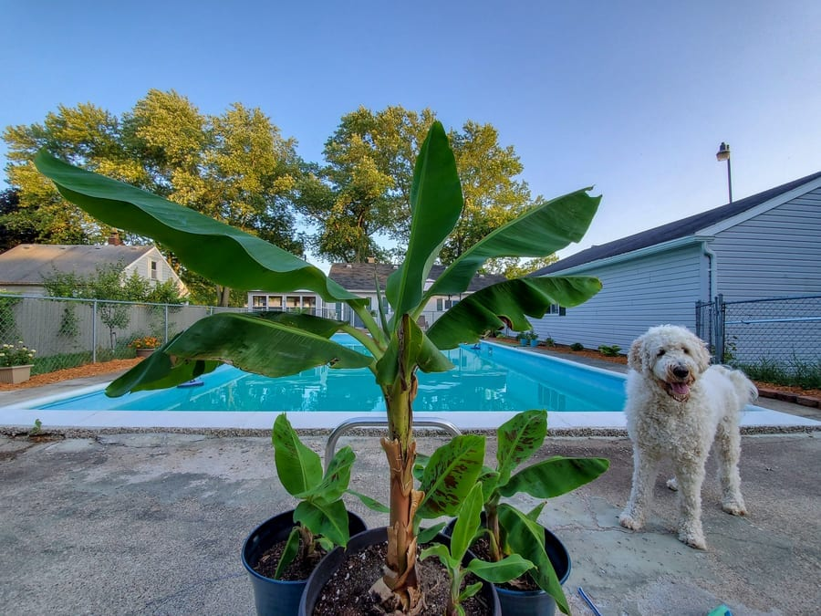 Banana Trees by the Pool