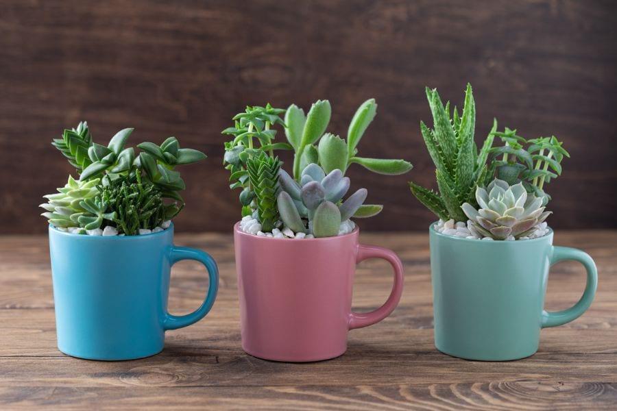 Succulents in Coffee Mugs