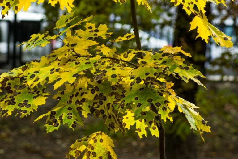 How To Save A Dying Maple Tree And How To Identify Maple Decline The Practical Planter
